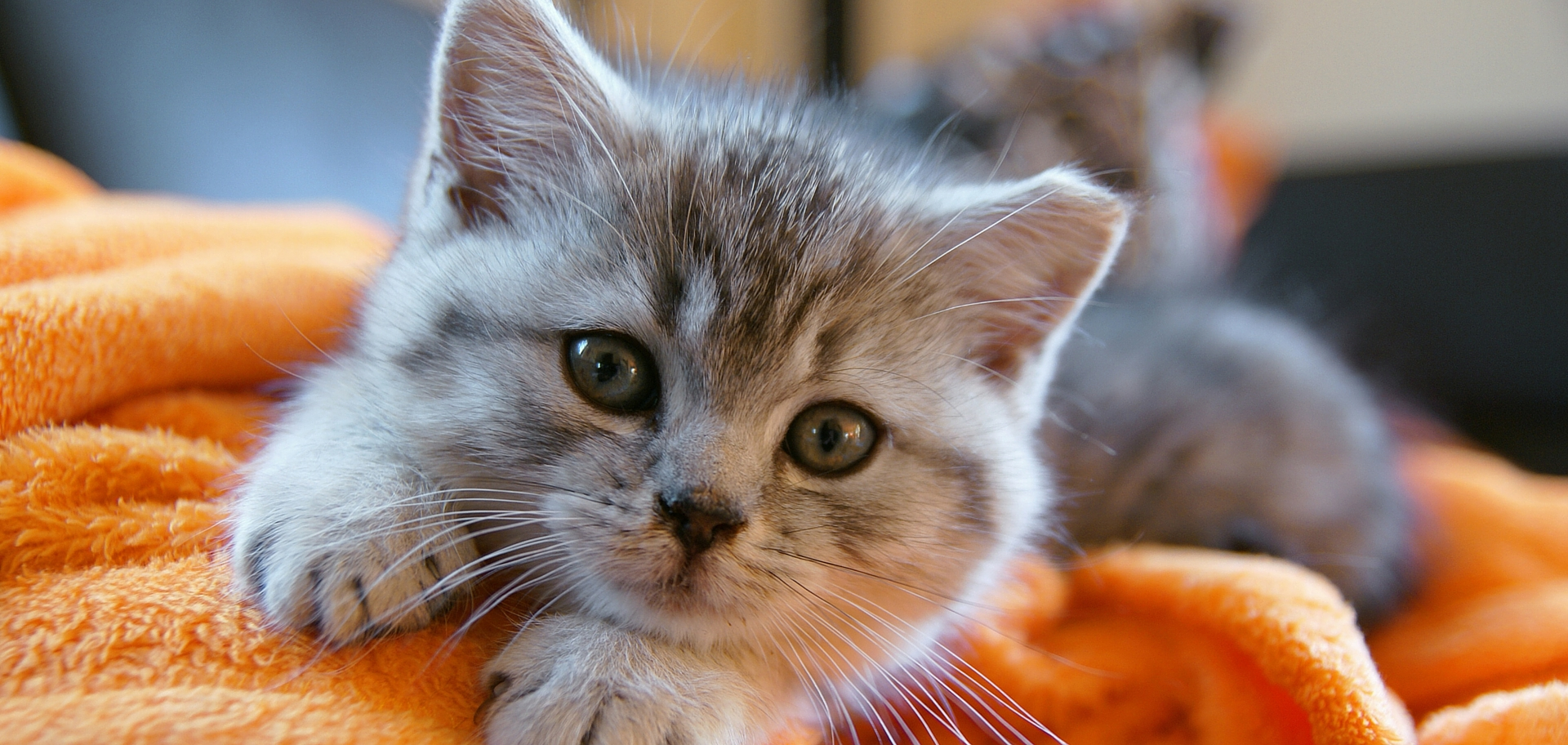 HERE'S WHY YOU SHOULD ADOPT A CAT THIS MONTH