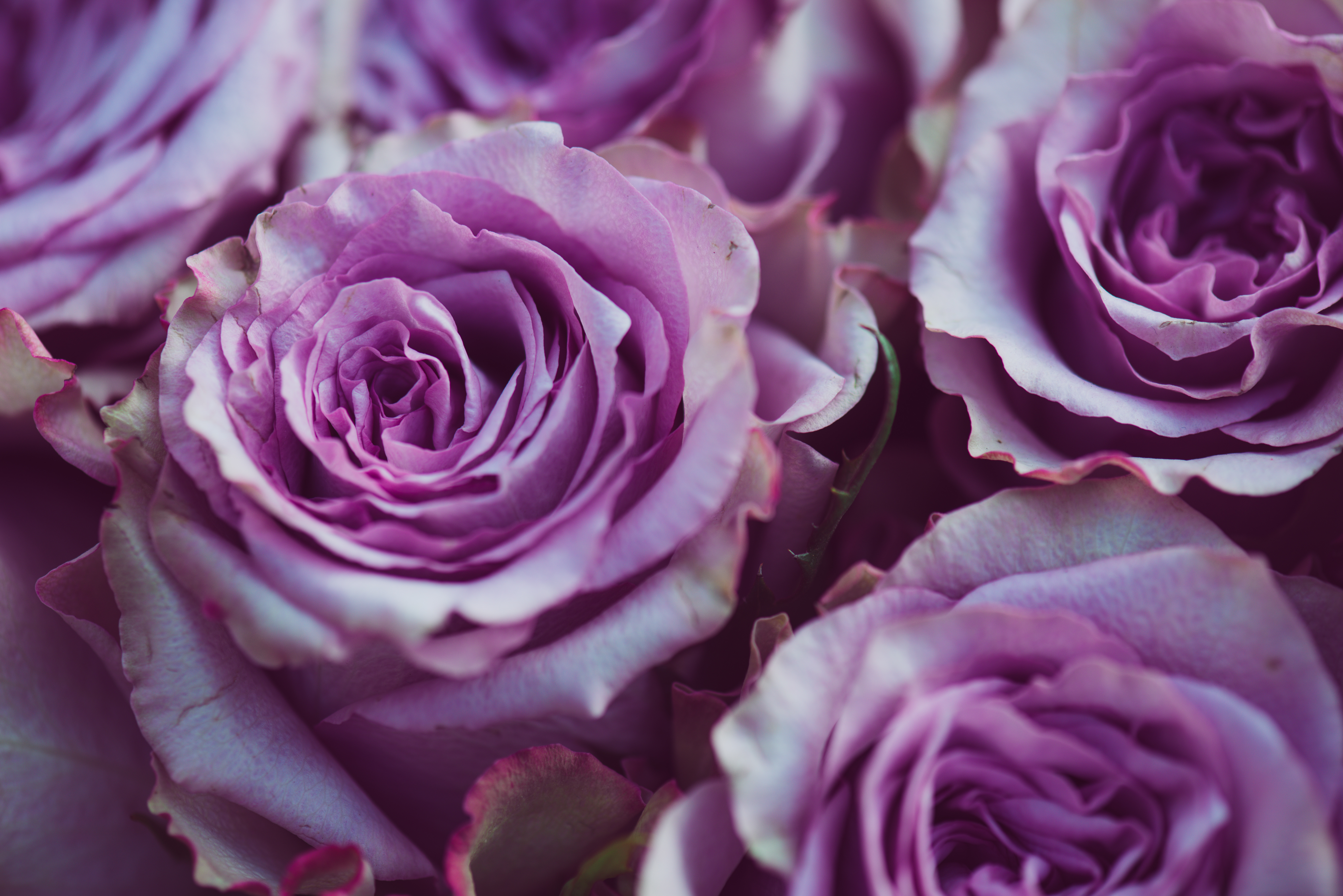 Roses –Their Color Has a Lot To Say – Eco18  Purple