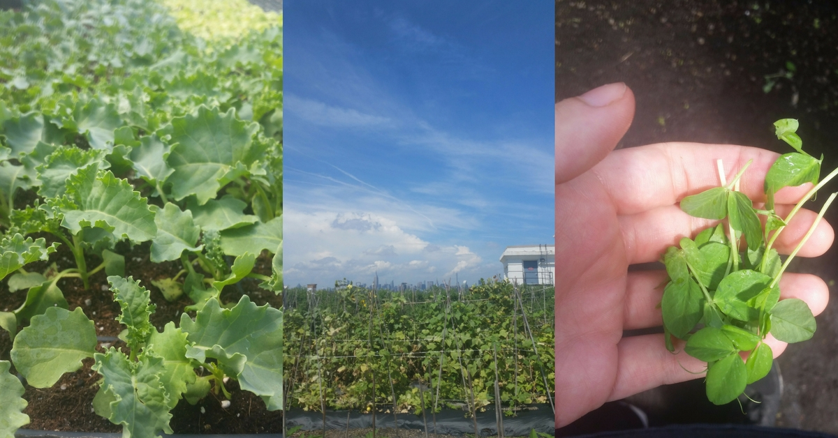 Rooftop Farming: The Brooklyn Grange