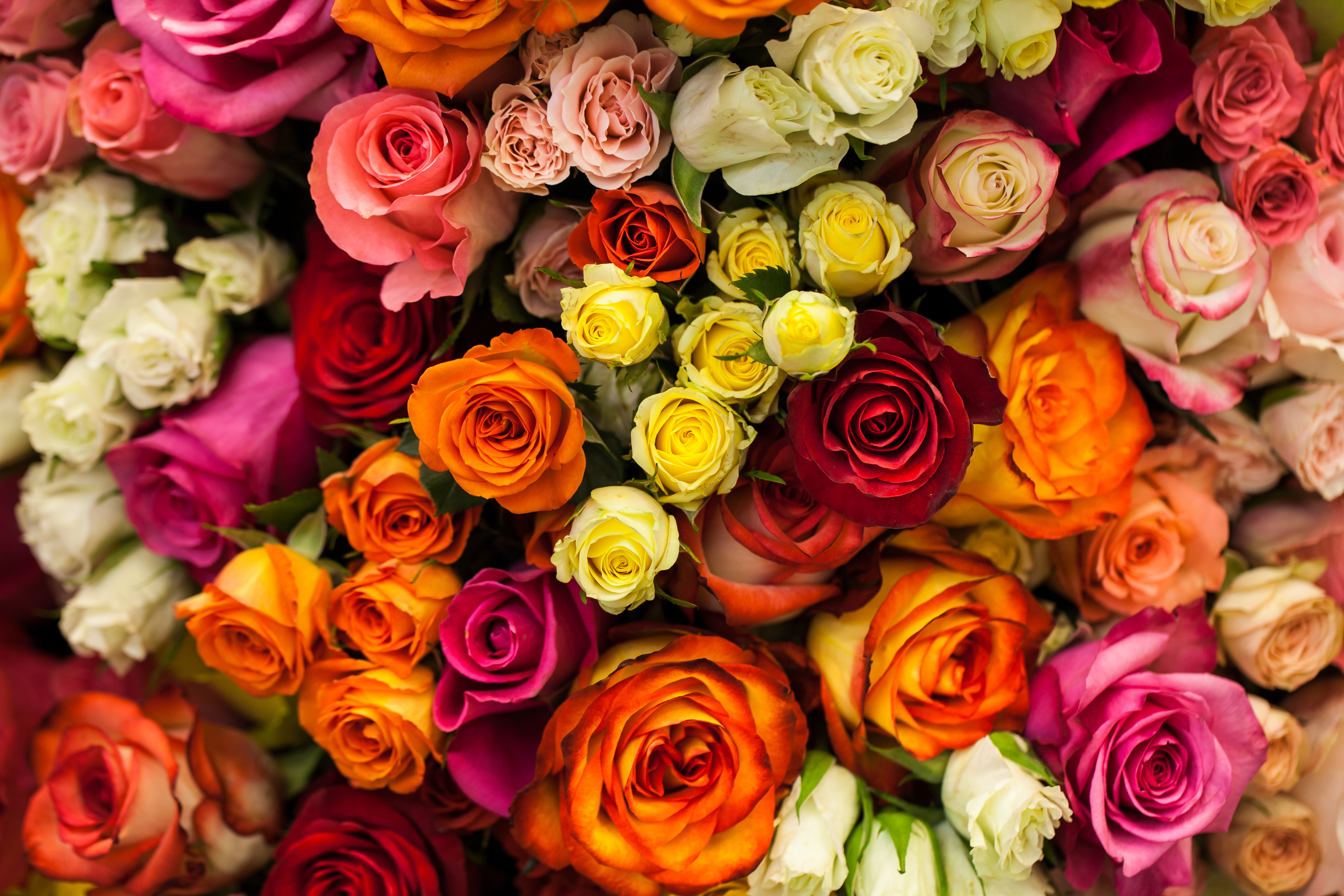 WHAT DOES THE COLOR OF ROSES REALLY MEAN? – Eco18