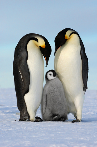 Emperor Penguin (Aptenodytes forsteri) family, Antarctica