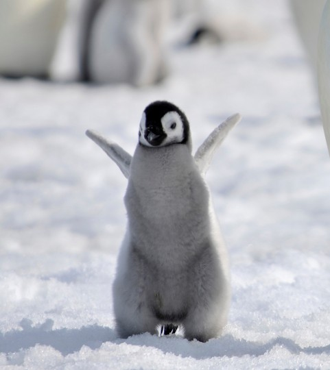 baby_emperor_penguin_by_laogephoto-d6094yj