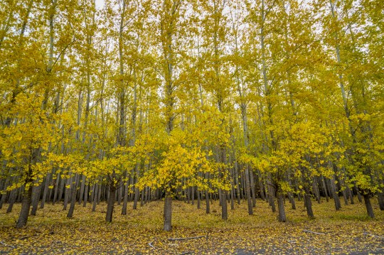 Yellow autumn colored trees on a tree farm