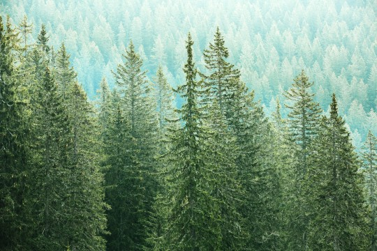 Healthy, big green coniferous trees in a forest of old spruce, fir and pine trees in wilderness area of a national park. Sustainable industry, ecosystem and healthy environment concepts.