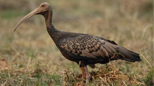 Giant-ibis-Full