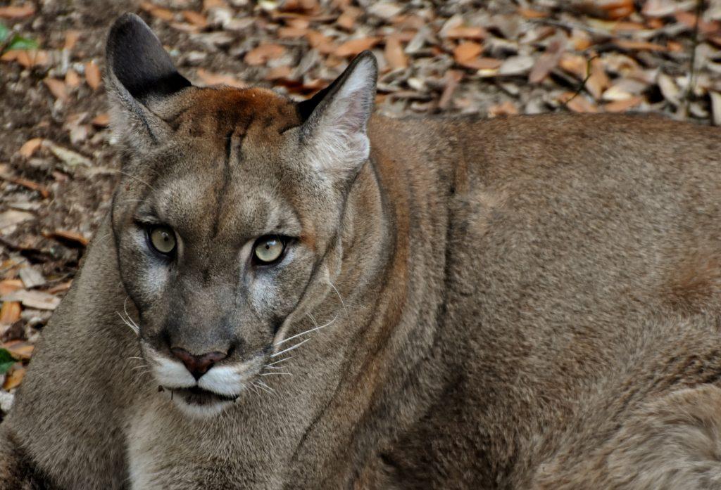 A close up of a Florida panther