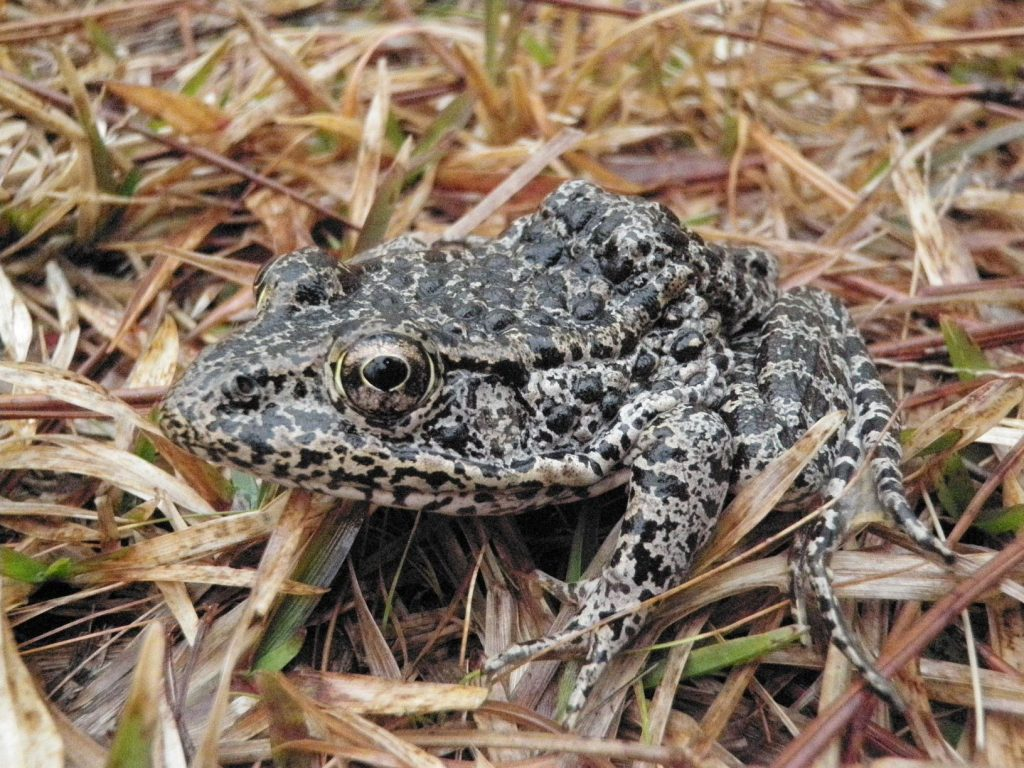 A frog sitting on top of dry grass  Description automatically generated