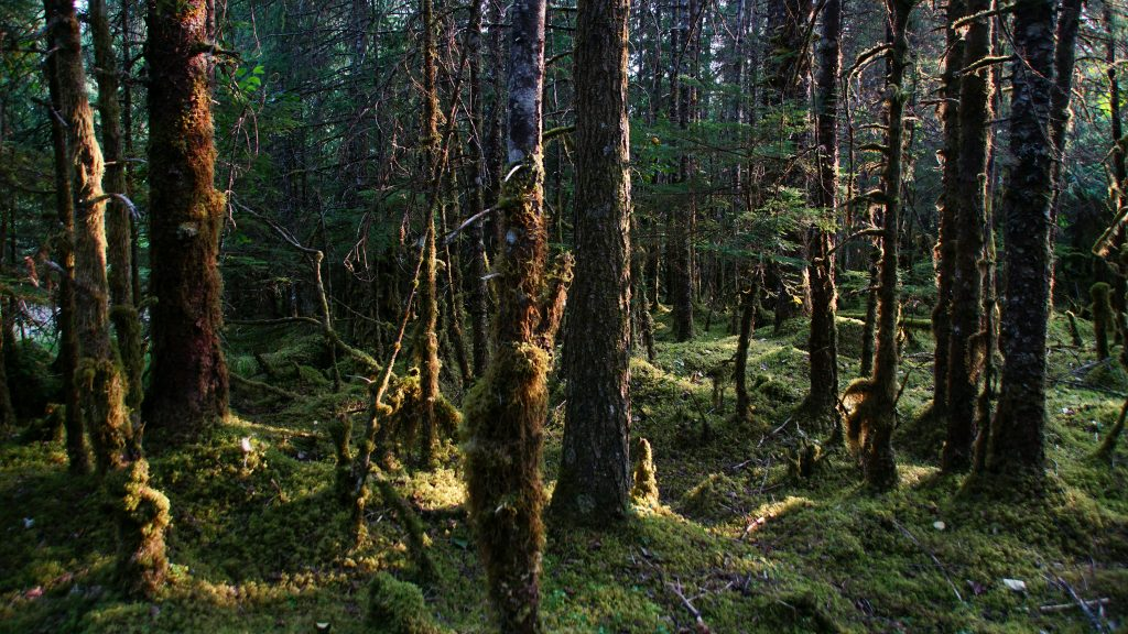 Trees in Tongass National Forest