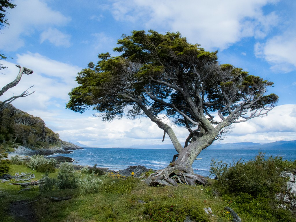 Photo by José Mangiafave via Flickr; This is the type of tree researchers found on Isla Hornos, but this larger specimen was found more northward in Ushuaia, Argentina.